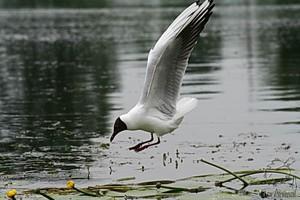 Чайка озерная на охоте