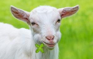 Трава для козы