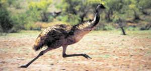 При беге эму способен развить скорость 50 км в час