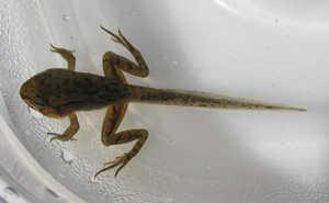 И жабы и лягушки развиваются из икры, проходя определенный цикл