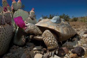 Пища черепахи на воле