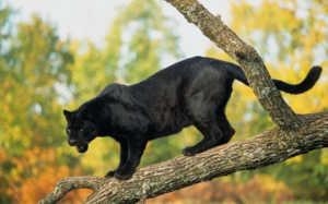 Основу рациона пантеры составляет мясо, но также она не брезгует и яйцами