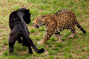 Пантера охраняет свою территорию от чужих посягаельств