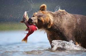 Еда для медведя