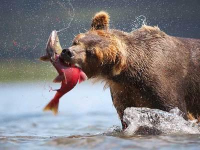 Что едят медведи: питание хищника в лесу летом и зимой