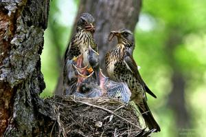 Семейка дроздов