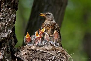 Самка дрозда на гнезде