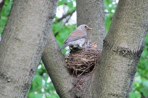 Гнездо рябинника на дереве