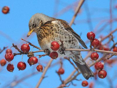 Дрозд-рябинник Что это за птица