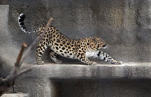 Дальневосточный леопард Мизер живет в неволе