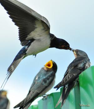 Ласточка - касатка с птенцами