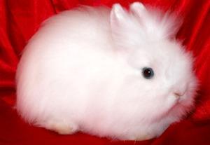 Кролик ангорский карлик - фото породы
