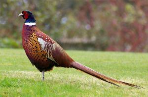 Разведение и правила охоты на фазана