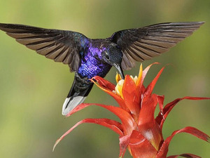 Как колибри пьет нектар