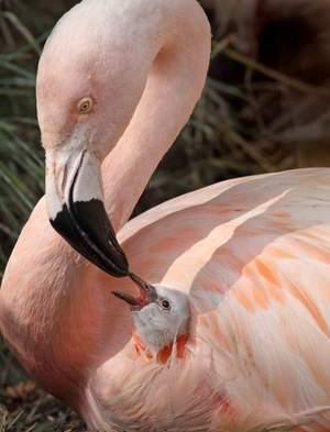 Описание розового фламинго