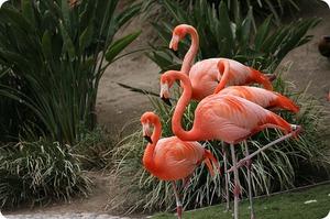 Где обитают фламинго