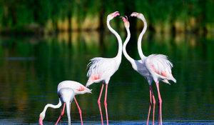Как питается фламинго