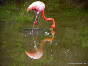 Какой ображ жизни у фламинго