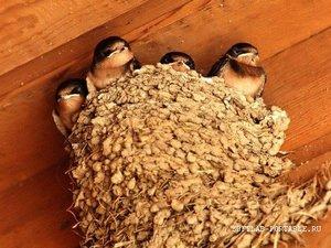 Как выглядит гнездо ласточки