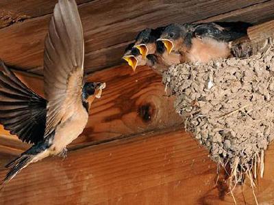 Из чего делается гнездо ласточки и где селится птица