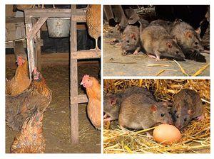 Способ борьбы с крысами