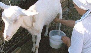 Женщина доит козу