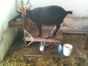 Станок для доения козы