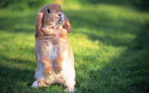 Кролик на задних лапах