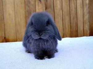 Кролик серо-голубого цвета