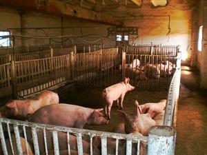 Особенности конструкций сараев для свиней