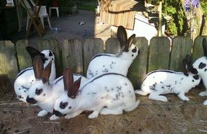 Кролики породы бабочка