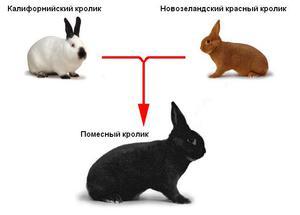 Скрещивание кроликов разных пород