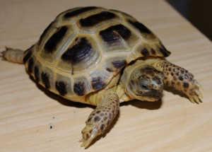 Для домашнего содержания больше всего подходит сухопутная черепаха