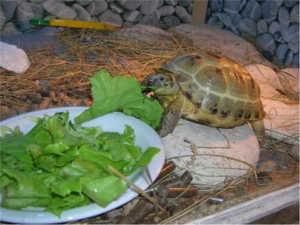 Кормите черепашку только свежей и подходящей ей пищей