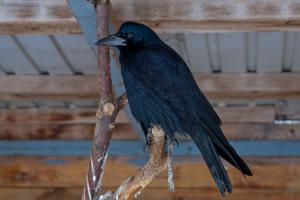 Как вьет гнездо птица грач