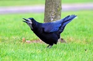 Описание птицы грач