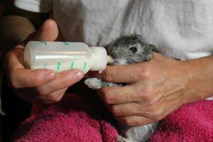 Инструкции для выкармливания крольчат без крольчихи