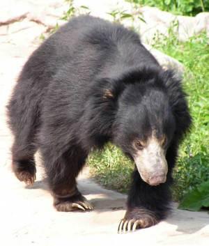 Описание видов медведей