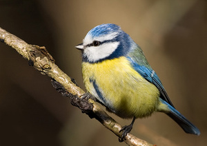 Птица лазоревка