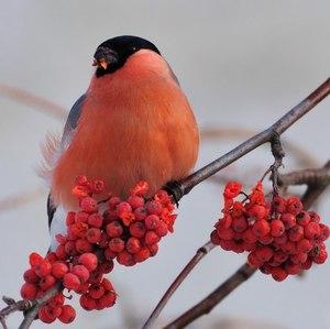 Птица снегирь