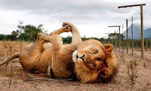 Африканский лев - быстрый и сильный хищник