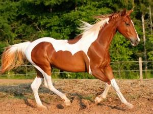 Американская лошадь - очень быстрые животные