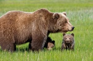 Медведица с детенышем - виды медведей