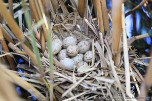 Гнездо камышницы в траве