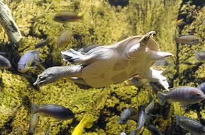 Мягкотелая черепаха