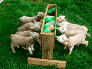 Питание козлят без матери