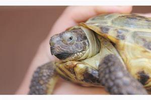 Чем кормят красноухих черепах