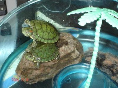 Красноухая черепаха: как их содержать в домашних условиях