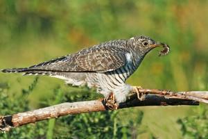 Птица кукушка краткое описание