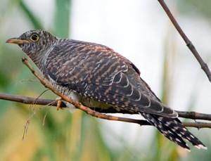 Кукушка откладывает яйца в гнезда чужих птиц